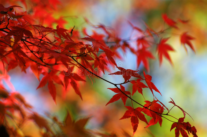 Download Colorful Japanese Maple stock image. Image of green, autumn - 265345