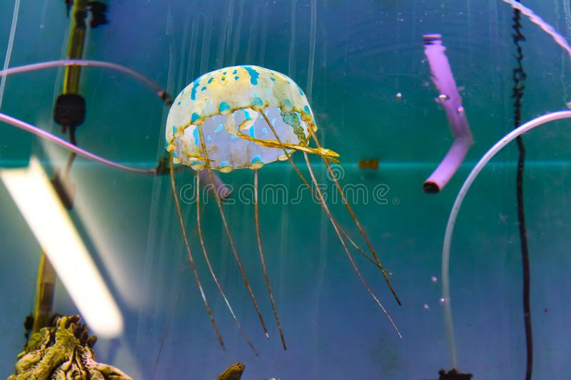 Colorful jellyfish floating in a fish tank - focus on creature stock photography