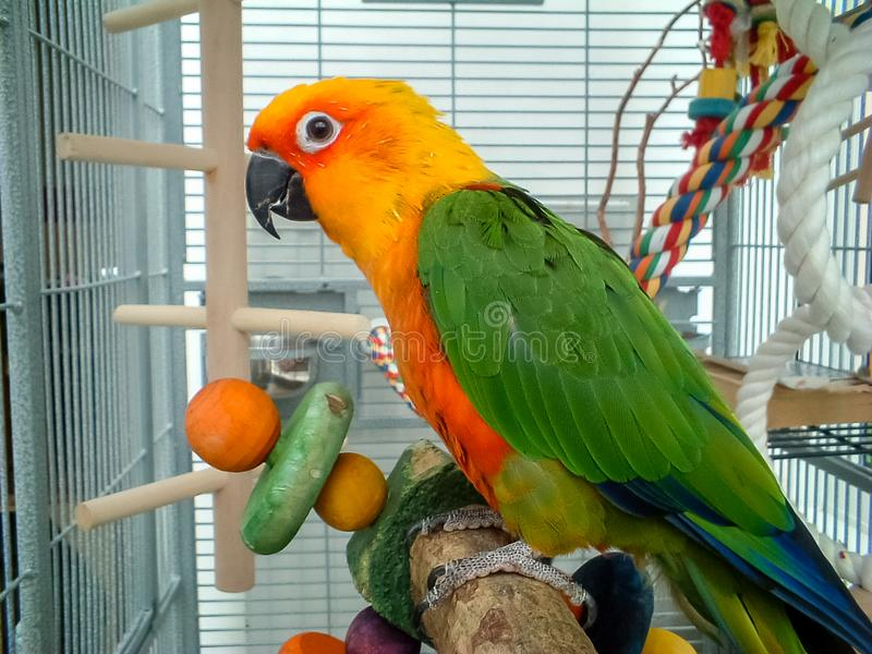 Colorful Jenday Conure parrot. Pet in cage. Colorful parrot in cage. A pet Jenday Conure Jandaya Parakeet Aratinga jandaya. Parrot with bright orange, green and stock image