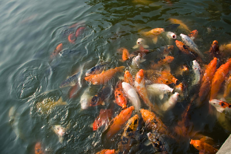 Download Colorful koi carps stock photo. Image of carp, feed, nature - 24088408