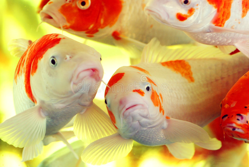 Colorful koi carps. A swarm of colorful koi carps swim carefree in the water,Chinese brocaded carps in the aquarium,with interrogation expression royalty free stock photography