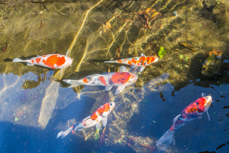 Colorful Koi fancy craps swim in clear water in city ditch royalty free stock photography