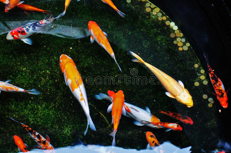 Colorful koi fish swimming in the pool stock photo image for Koi carp pool design