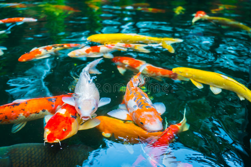 Colorful koi fish swimming in water stock photo image Koi fish swimming pool