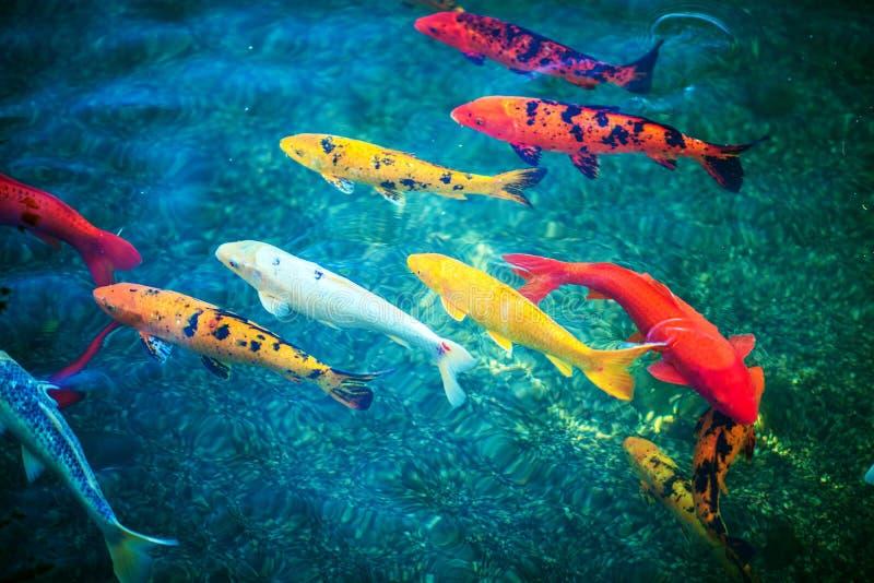 Colorful koi fishes stock image image of japanese animal for Koi breeding pond