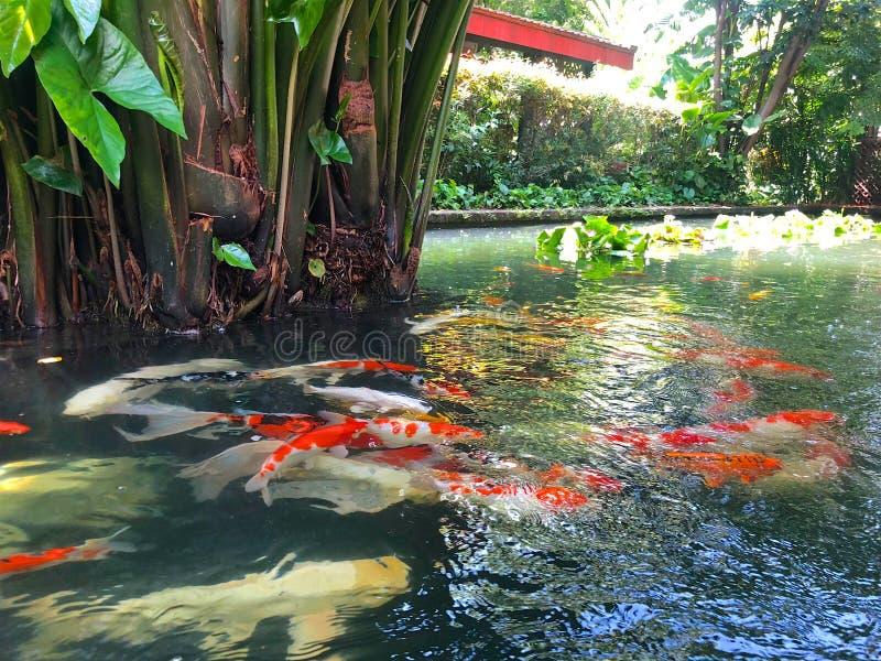 Colorful koi fishes in small tropical garden pound.  stock photos