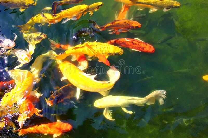 Colorful kois in pool.the beautiful crafts swimming and sun reflex on water.nature light and good feed make multi color fish or royalty free stock photos