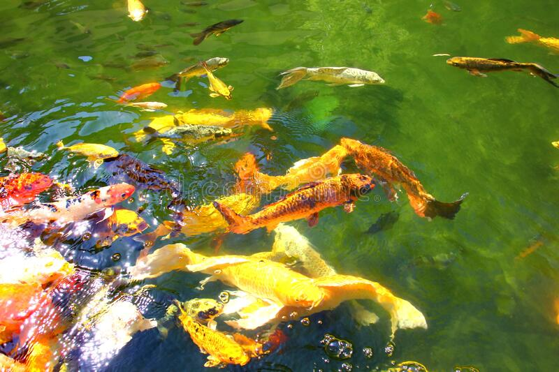 Colorful kois in pool.the beautiful crafts swimming and sun reflex on water.nature light and good feed make multi color fish or royalty free stock photo