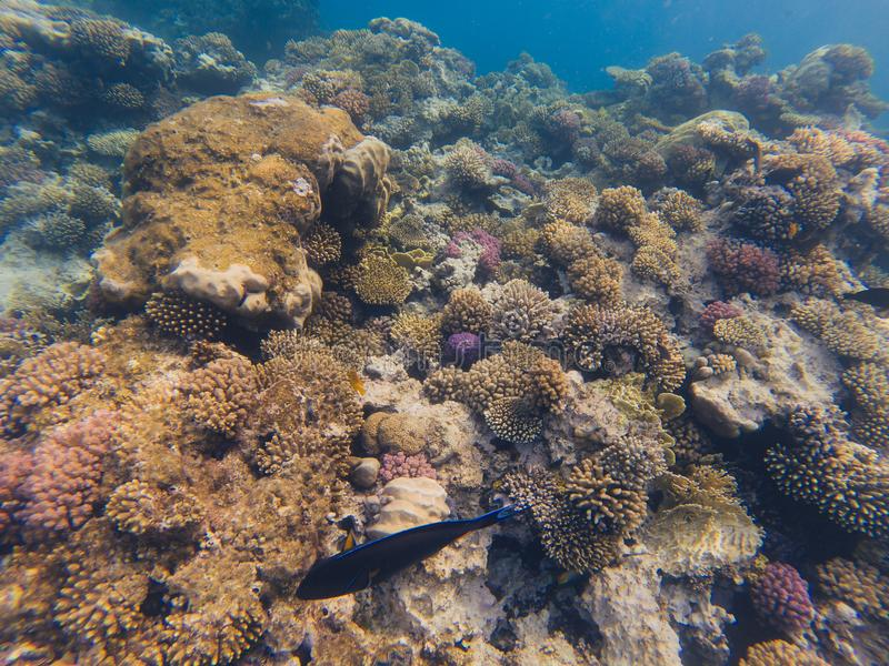 A colorful landscape of fish and coral in Red Sea, Egypt. Acanthurus sohal. royalty free stock photo