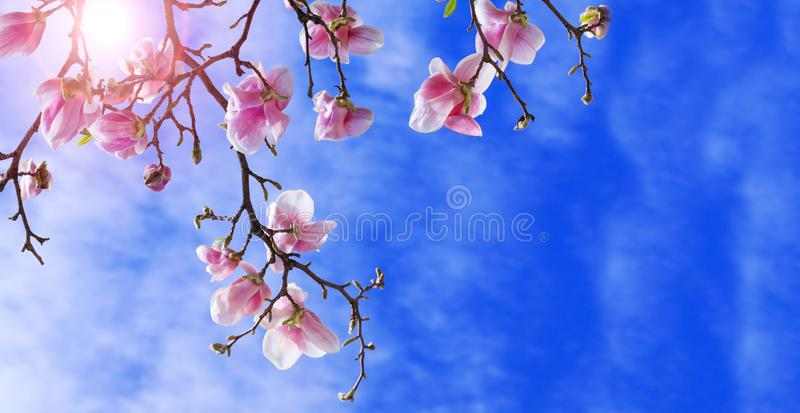 Colorful landscape of purple flowers in the spring season. Amazing background with magnolia tree. Beautiful pink magnolia petals stock photography