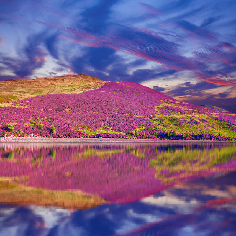 Free Colorful Landscape Scenery Of Pentland Hills Slope Covered By Pu Royalty Free Stock Photo - 44393615