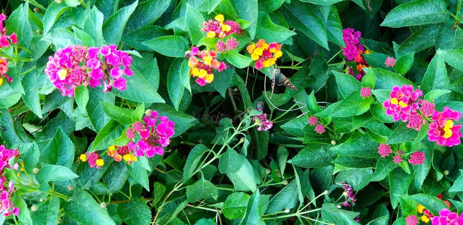 Colorful Lantana Flowers with a Butterfly stock photos