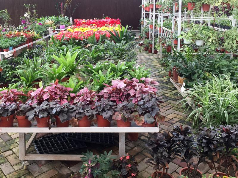 Colorful lants on shelves for sale at store. Colorful plants growing in flower pot for sale at store stock photos