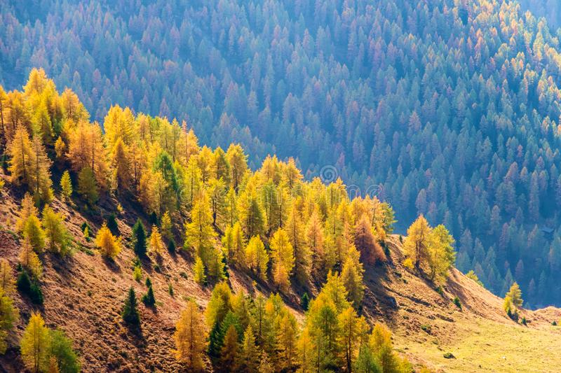Colorful larch forest in autumn, Grossglockner area, Alps, Austria, Europe royalty free stock photos