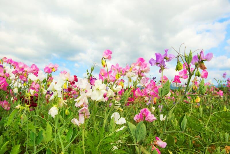 Colorful Lathyrus royalty free stock photos