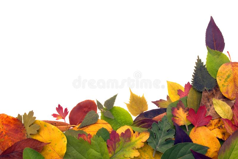 Colorful leaf for autumn season. On white background royalty free stock image