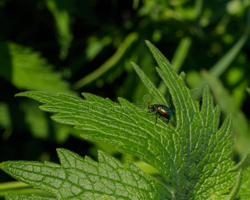 The colorful leaf beetle wanders around a green leaf of young wild plants of cannabis. royalty free stock images