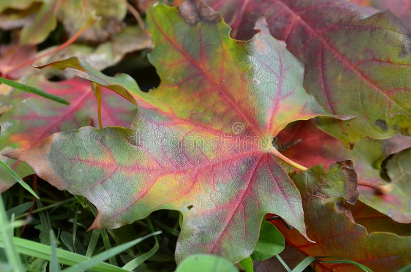 Colorful leaf. Colorful leaves on the ground stock photos