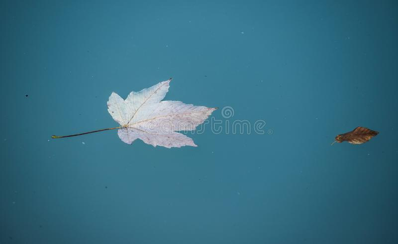 Orange leaf swims in the blue water of a river, copy stock photo