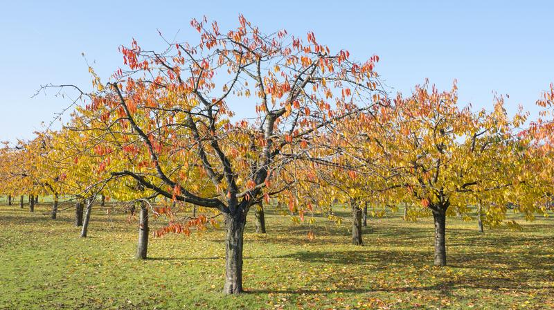 Colorful leaves on cherry trees in autumn cherry orchard near odijk in province of utrecht in the netherlands. Colorful leaves on cherry trees in autumn cherry royalty free stock photo