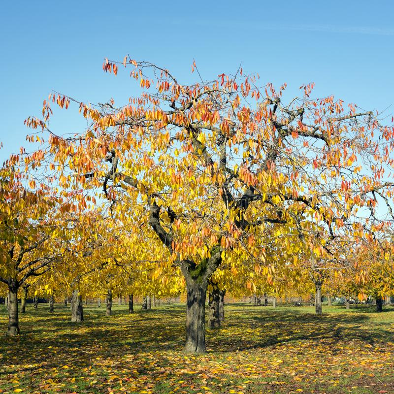 Colorful leaves on cherry trees in autumn cherry orchard near odijk in province of utrecht in the netherlands. Colorful leaves on cherry trees in autumn cherry royalty free stock image