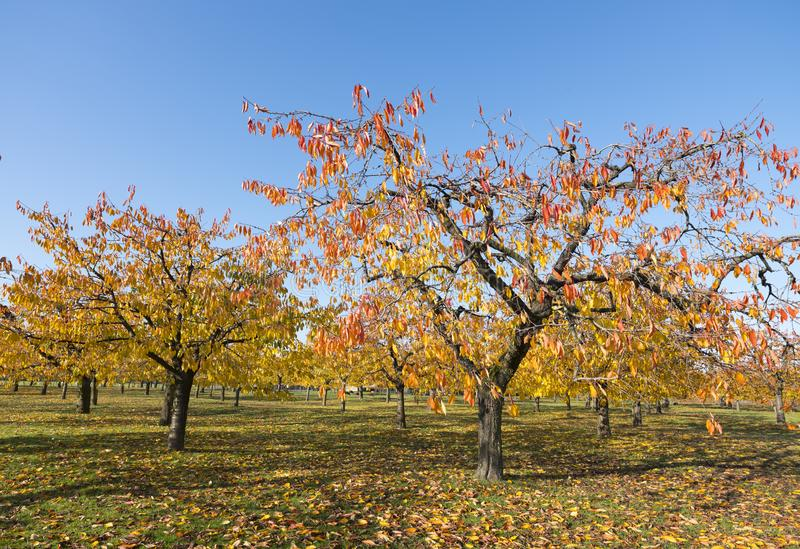 Colorful leaves on cherry trees in autumn cherry orchard near odijk in province of utrecht in the netherlands. Colorful leaves on cherry trees in autumn cherry stock photos