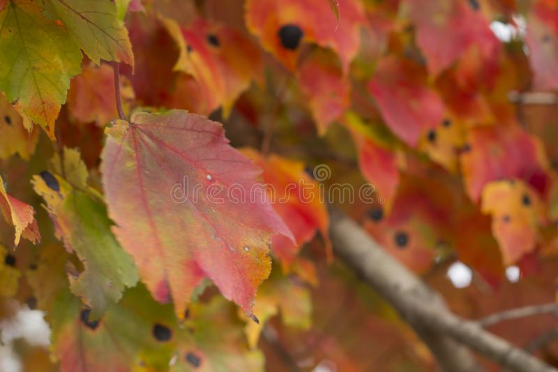 Colorful leaves in fall blurr background. Colorful leaves in fall on branches blurr background royalty free stock image