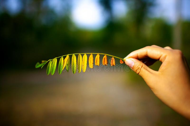 Colorful leaves in hand on nature backgroud. stock photo