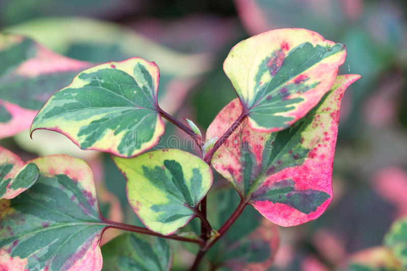 Colorful leaves of Houttuynia cordata Chameleon stock photo