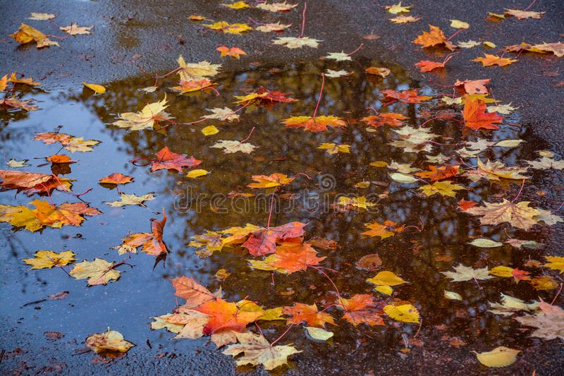 Colored leaves on wet pavement. Colorful leaves of maple and elm on wet pavement. Motley autumn carpet in inclement weather royalty free stock image