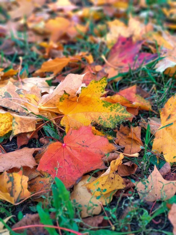 Colorful leaves of a maple lie on a green grass during a leaf fall in the autumn in park royalty free stock image