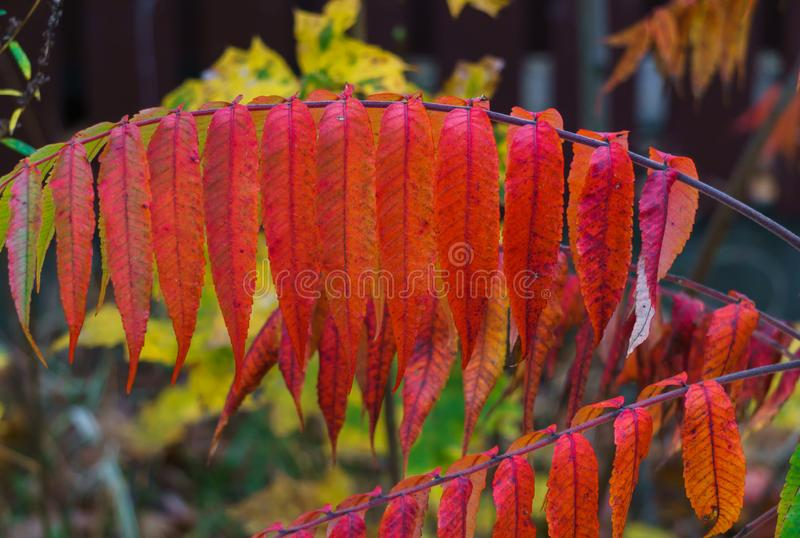 Colorful colorful leaves of vinegar tree in late autumn.  royalty free stock photos