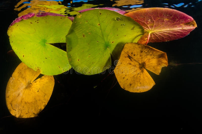 Colorful Lily Pads Growing on Edge of Lake. A canopy of colorful lily pads grows on the edge of a freshwater lake on Cape Cod, Massachusetts. Aquatic vegetation stock image