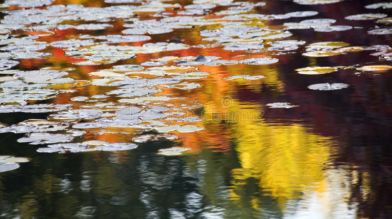Colorful Lily Pads Reflections Van Dusen Gardens royalty free stock photos