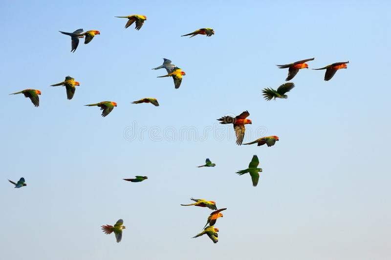 Parrots flying in the sky. Colorful little parrots flying in the sky royalty free stock images