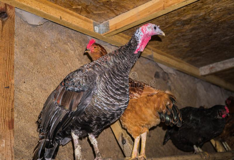 A colorful live turkey with chicken in a stable on the perch stock photography