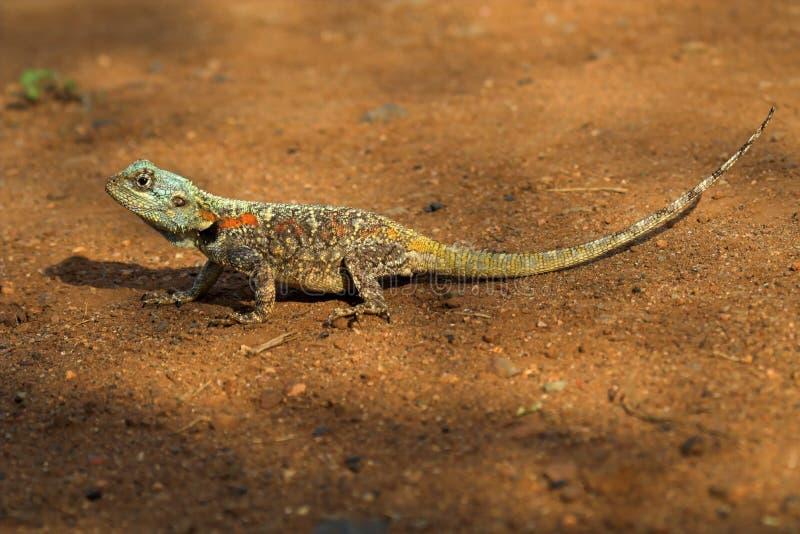 Colorful Lizard stock image