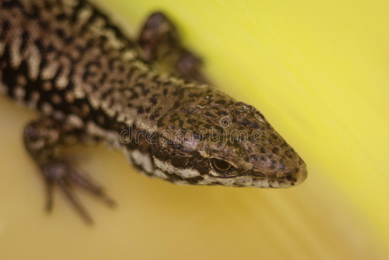 Colorful lizard closeup. Amazing lizard body head dotted colorful patern royalty free stock photography