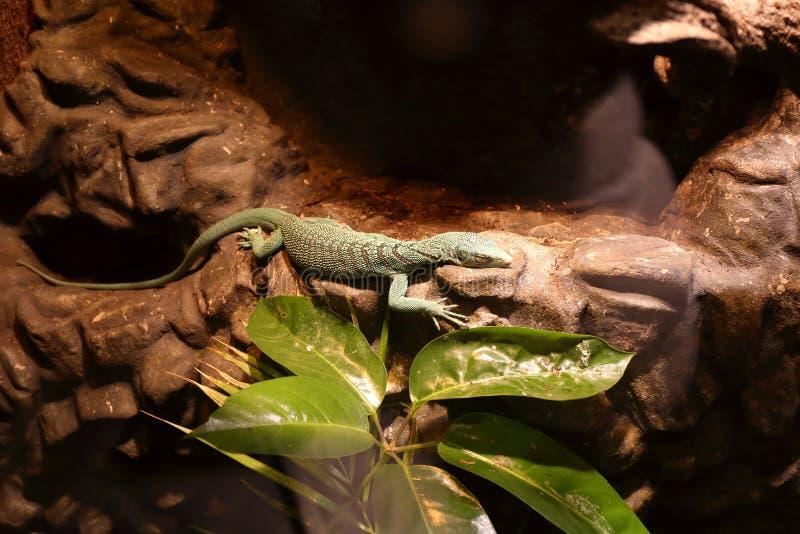 Colorful lizard at reptile museum stock image