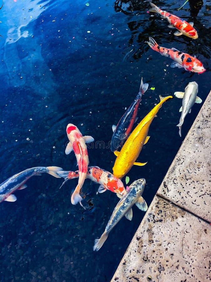 Koi pond fish zen nature tiles royalty free stock photo