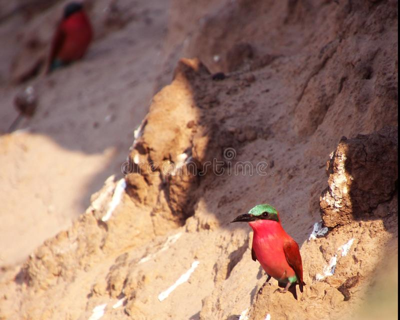 Colorful lookout on the nest in Zambia stock photography