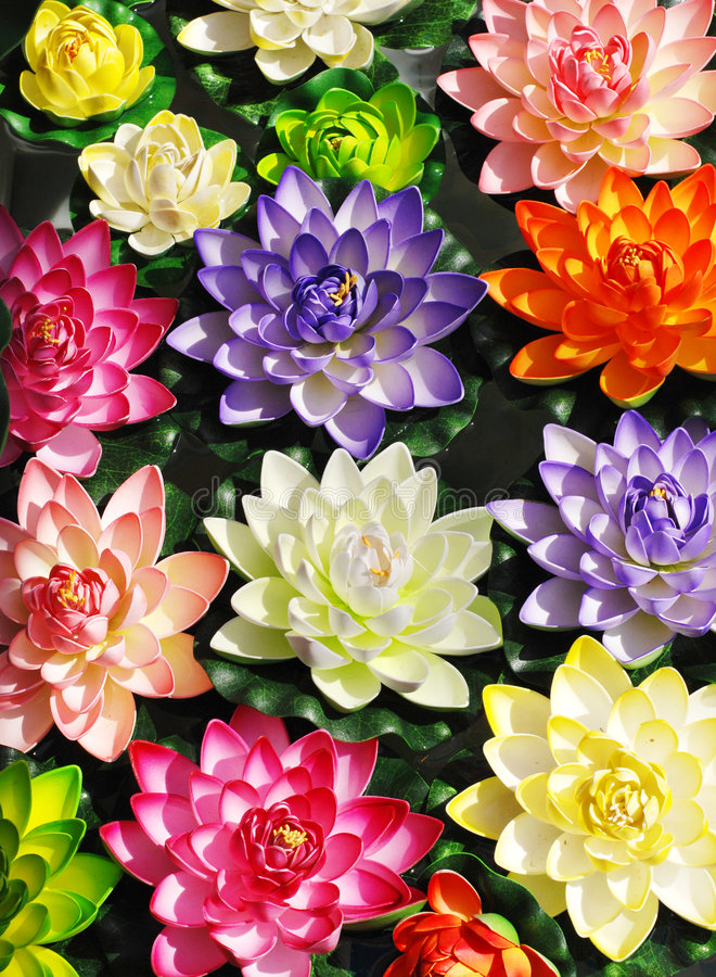 Colorful lotus flowers royalty free stock photo