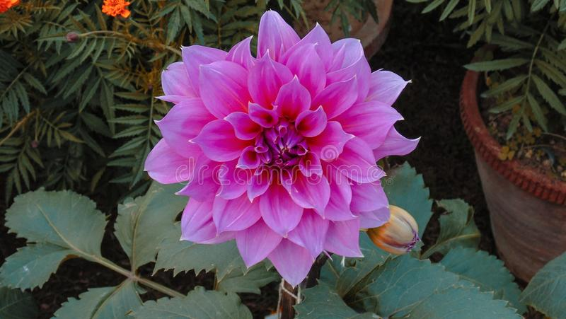 Colorful lotus flowers in Asia stock photo