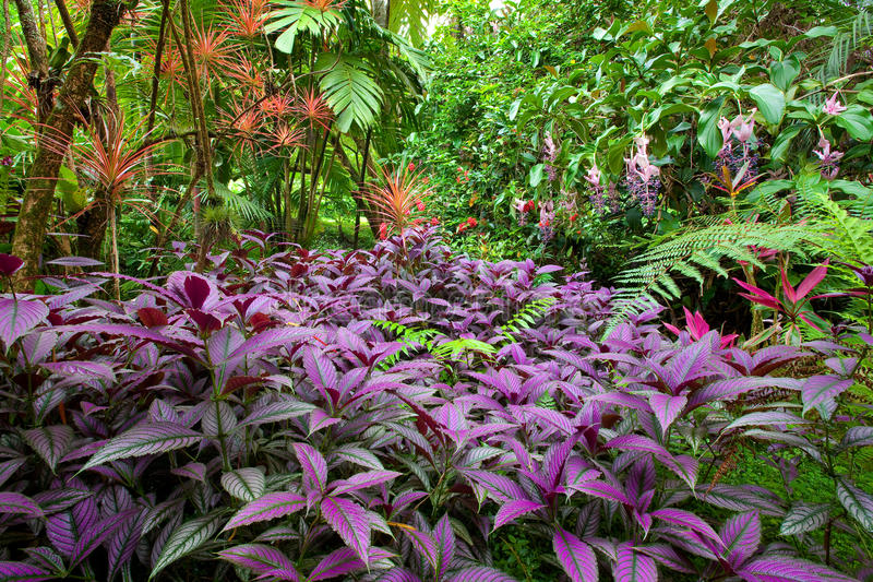 Colorful, lush tropical rain forest. With a diverse range of plants and trees on Hawaii, the Big Island. Purple leaved Persian Shield plants in the foreground royalty free stock photos