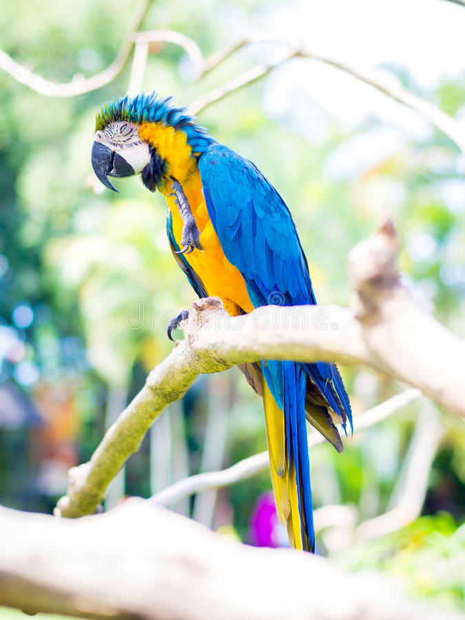 Colorful Macaw Bird. On Trunk royalty free stock image