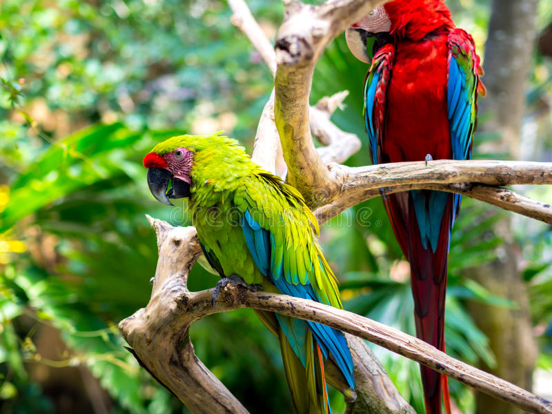 Colorful Macaw Birds. On Trunk royalty free stock photo