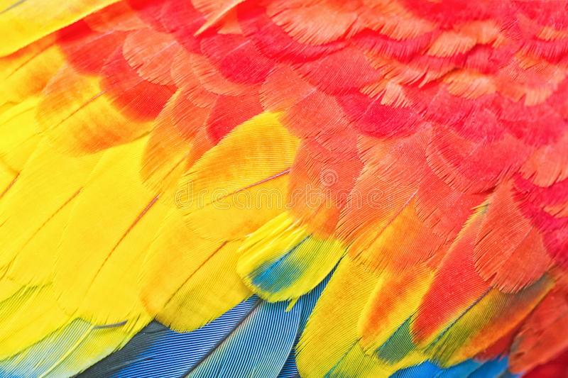 Colorful Macaw Feather. Colorful of Macaw Feather ,marco shot stock images
