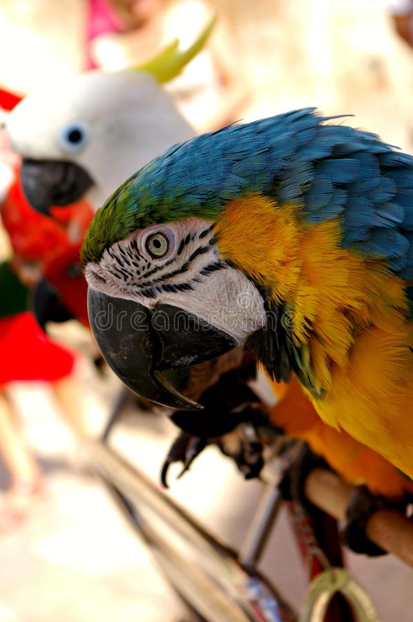 Colorful macaw looking at the camera royalty free stock photos
