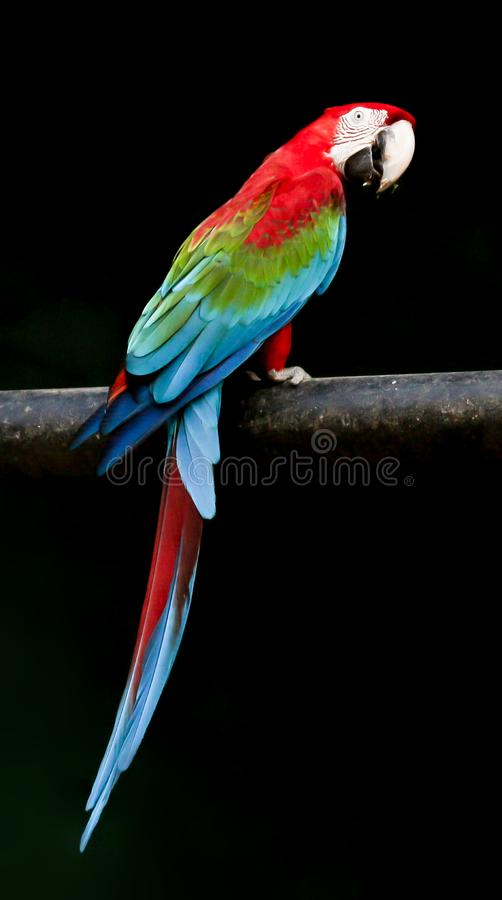 Colorful macaw parrot. Bird royalty free stock photo
