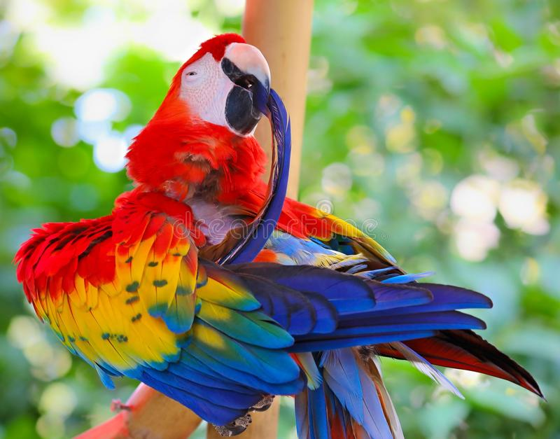 Colorful Macaw Parrot Preening Feathers. A perched Macaw Parrot preening colorful feathers while on a tree brunch royalty free stock image